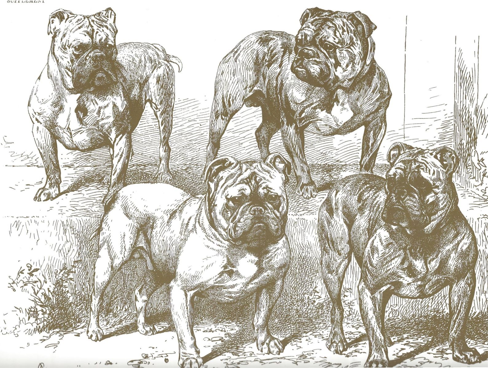 Studie eines Olde English Bulldoggs