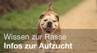 Informationen zur Rasse der English Bulldogs.