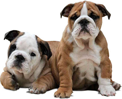 English Bulldogs aus der Bulldog Zucht Goddbody